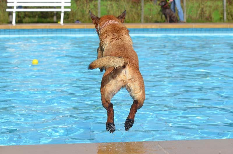 Cane che si tuffa in piscina