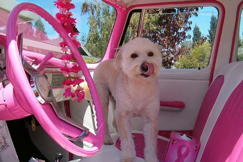 Cane in una macchina rosa